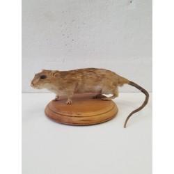 Rat naturalisé